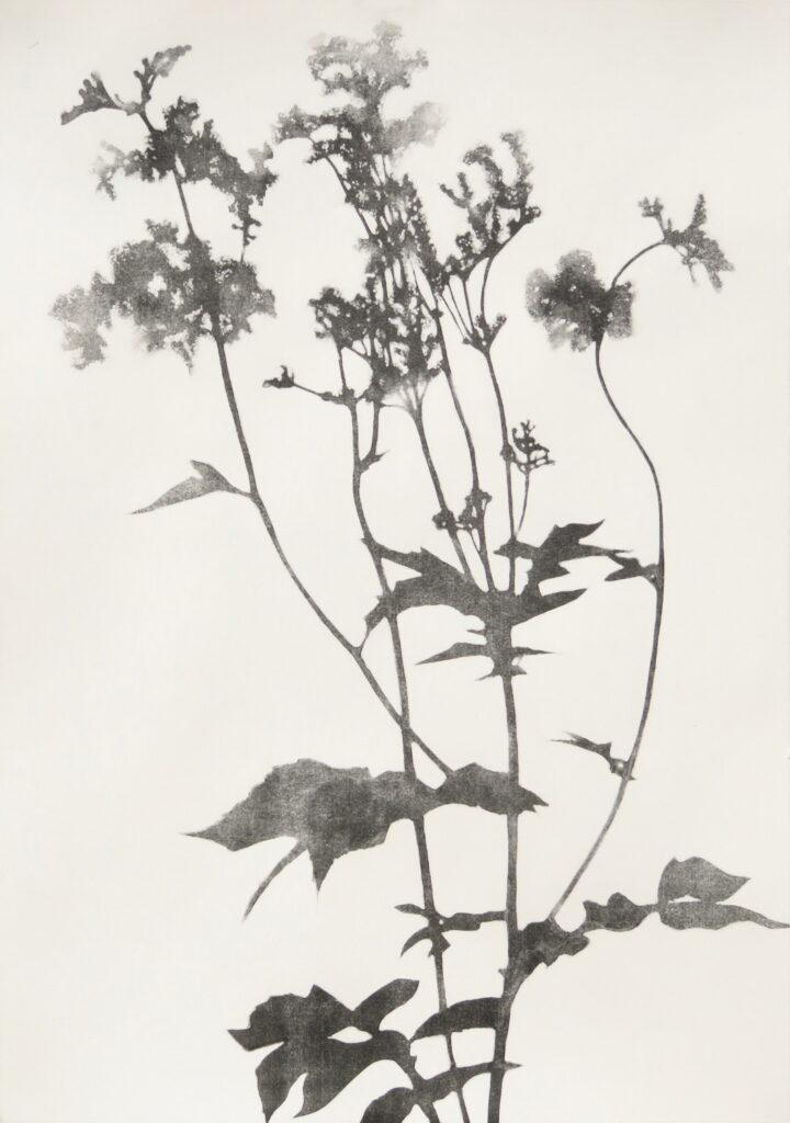 Hester Cox, Meadowsweet, 100x70cm, Reductive MonotypeLR